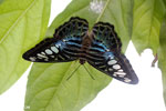 Parthenos sylvia clipper [aceh_0030]