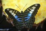 Parthenos sylvia clipper [aceh_0041]
