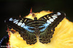 Parthenos sylvia clipper [aceh_0043]