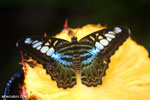 Parthenos sylvia clipper [aceh_0044]