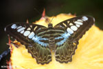 Parthenos sylvia clipper [aceh_0045]