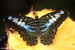 Parthenos sylvia clipper [aceh_0046]