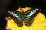 Parthenos sylvia clipper [aceh_0048]