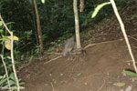 Wild pig trapped in a snare [aceh_0090]