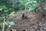 Wild pig trapped in a snare