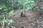 Wild pig trapped in a snare [aceh_0092]