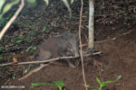 Wild pig trapped in a snare [aceh_0093]
