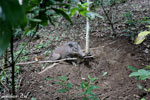 Wild pig trapped in a snare [aceh_0095]