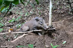 Wild pig trapped in a snare [aceh_0096]