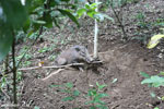 Wild pig trapped in a snare [aceh_0097]
