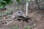 Wild pig trapped in a snare [aceh_0098]