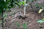 Wild pig trapped in a snare [aceh_0099]