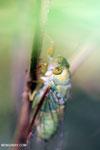 Cicada [aceh_0126]