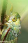 Cicada [aceh_0128]