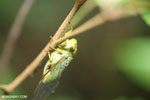 Cicada [aceh_0132]