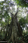 Strangler fig near Jantho, Aceh