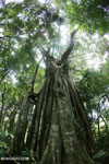 Strangler fig near Jantho, Aceh [aceh_0156]