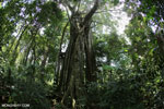 Strangler fig near Jantho, Aceh [aceh_0159]