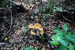 Orange fungi [aceh_0188]