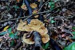 Orange fungi [aceh_0189]