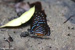 Butterfly in Aceh [aceh_0200]
