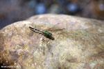 Green grasshawk dragonfly [aceh_0223]