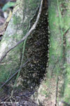 Wasp nest in the Aceh rainforest