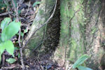 Wasp nest in the Aceh rainforest [aceh_0253]