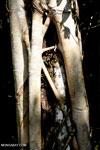 Strangler fig [aceh_0354]