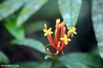 Orange tubular flowers [aceh_0374]