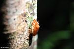 Cicada exoskeleton [aceh_0375]