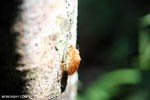 Cicada exoskeleton [aceh_0377]