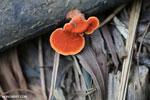 Red-orange fungi [aceh_0473]