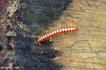 Red centipede [aceh_0475]