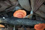 Red-orange fungi [aceh_0480]