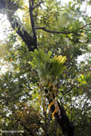 Staghorn fern [aceh_0497]