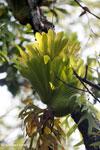 Staghorn fern [aceh_0500]