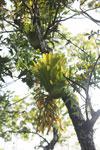 Staghorn fern [aceh_0501]