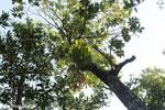 Staghorn fern [aceh_0502]
