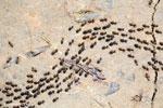 Line of termites