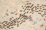 Line of termites [aceh_0512]