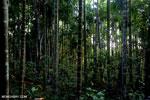 Beetlenut palms [aceh_0532]