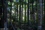 Beetlenut palms [aceh_0533]