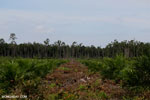 New oil palm plantation established on peatland outside Palangkaraya [kalteng_0004]