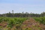 New oil palm plantation established on peatland outside Palangkaraya