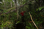 Hiking in a peat swamp in Borneo [kalteng_0015]