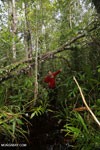 Hiking in a peat swamp in Borneo [kalteng_0016]