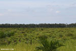 New oil palm plantation established on peatland outside Palangkaraya [kalteng_0047]