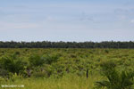 New oil palm plantation established on peatland outside Palangkaraya [kalteng_0048]