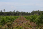 New oil palm plantation established on peatland outside Palangkaraya [kalteng_0050]